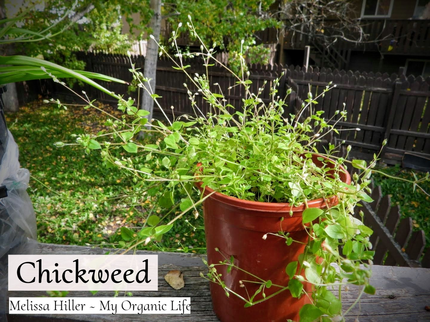 Chickweed – Foraging, and Benefits