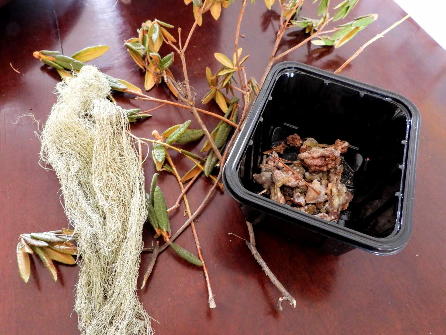 Winter Foraging – Usnea, Labrador Tea, and pine pitch.